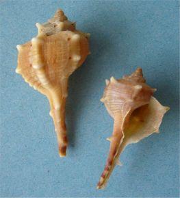 קונכיות Muryx מהן מפיקים את הצבע הארגמני. בארץ אפשר היה למצוא גם את ה'ארגמון כהה קוצים', חילזון ימי דומה ששימש להפקת צבע הארגמן בימי הפיניקים