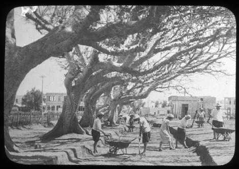 צלם לא ידוע, סלילת רחוב בתל-אביב תחת עצי שקמים , שנות ה-20 של המאה ה-20, באדיבות ארכיון התמונות יד בן-צבי, אוסף זאב וילנאי