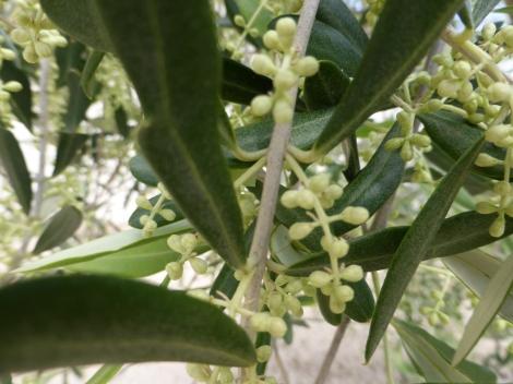 הזיתים שלנו השנה