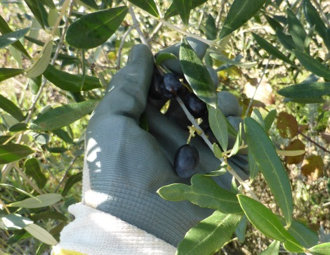 olive (4)