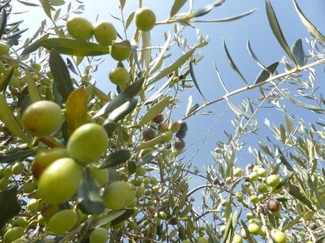 olive (9)